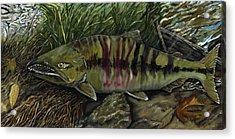 Chum Salmon Acrylic Print by Sara Stevenson