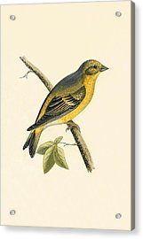 Citril Finch Acrylic Print by English School