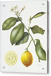 Citrus Bergamot Acrylic Print by Margaret Ann Eden