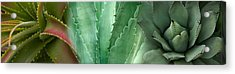 Close-up Of Aloe Vera Plants Acrylic Print by Panoramic Images