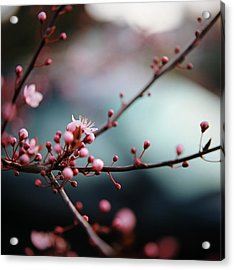 Close-up Of Plum Blossoms Acrylic Print by Danielle D. Hughson