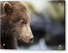 Close-up Portrait Of Coastal Brown Bear Acrylic Print by Paul Souders