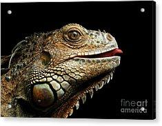 Close-upgreen Iguana Isolated On Black Background Acrylic Print by Sergey Taran