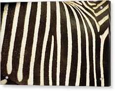 Close View Of A Zebras Stripes Acrylic Print by Stacy Gold