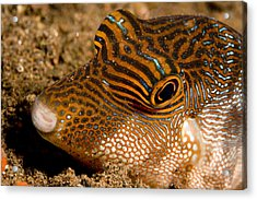 Closeup Of A Spotted Toby Canthigaster Acrylic Print by Tim Laman