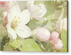 Closeup Of Apple Blossoms In Early Acrylic Print by Sandra Cunningham