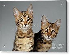 Closeup Portrait Of Two Bengal Kitten On White Background Acrylic Print by Sergey Taran