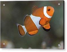 Clown Anemonefish (amphiprion Ocellaris) Acrylic Print by Steven Trainoff Ph.D.