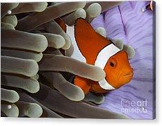 Clown Anemonefish, Indonesia Acrylic Print by Todd Winner