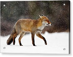 Cold As Ice - Red Fox In A Snow Blizzard Acrylic Print by Roeselien Raimond