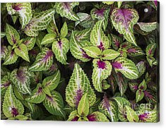 Coleus Rose Lime Magic Acrylic Print by Tim Gainey