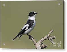 Collared Flycatcher Acrylic Print by Richard Brooks/FLPA