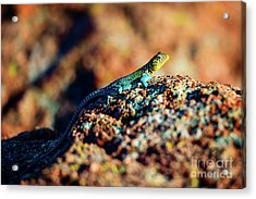 Collared Lizard Acrylic Print by Tamyra Ayles