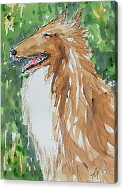 Collie Acrylic Print by Pete Maier