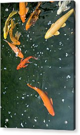 Colorful Fishes And Floating Petals Acrylic Print by Lawren