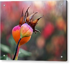Colorful Rose Hips Acrylic Print by Rona Black