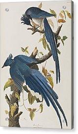 Columbia Jay Acrylic Print by John James Audubon