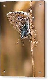Common Blue Butterfly Acrylic Print by Ian Hufton