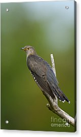 Common Cuckoo Acrylic Print by Steen Drozd Lund