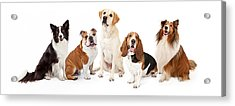 Common Family Dog Breeds Group Acrylic Print by Susan Schmitz