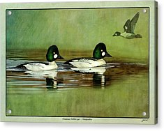 Common Golden-eye Drakes With Flyer Acrylic Print by John Williams