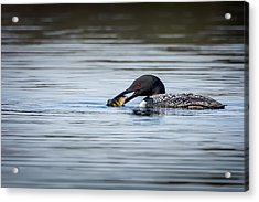 Common Loon Acrylic Print by Bill Wakeley