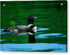 Common Loon In Water, Michigan, Usa Acrylic Print by Panoramic Images