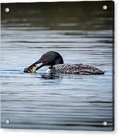 Common Loon Square Acrylic Print by Bill Wakeley