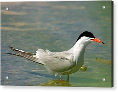 Common Tern Portrait Acrylic Print by Cliff  Norton