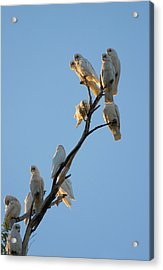 Communa-tree Acrylic Print by Mike  Dawson