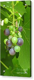 Concord Grapes On The Vine Acrylic Print by Gina Sullivan