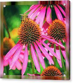Coneflower Bee Acrylic Print by Kasia Bitner