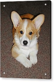 Corgi Puppy Lying Down Acrylic Print by Laurie With