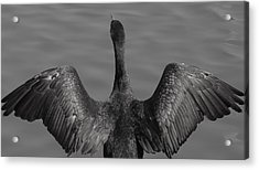 Cormorant 3 Acrylic Print by Todd Sherlock
