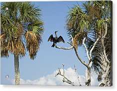 Cormorant Drying Acrylic Print by Stacey Lynn Payne
