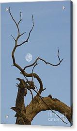 Cotton Moon Acrylic Print by Sophie De Roumanie