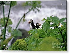 Couple Of Puffins Perched On A Rock Acrylic Print by Sami Sarkis