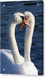 Courting Swans Acrylic Print by David Pyatt