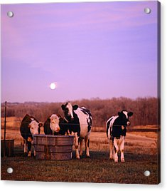 Cows At Sunset Delano Minnesota Acrylic Print by Panoramic Images
