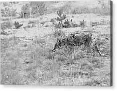 Coyote Blending In Acrylic Print by Christine Till