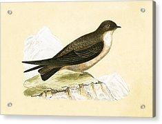 Crag Swallow Acrylic Print by English School
