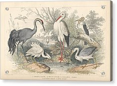 Cranes Acrylic Print by Oliver Goldsmith