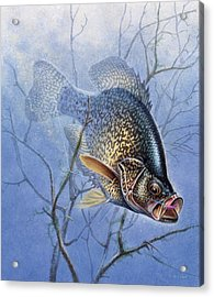 Crappie Cover Tangle Acrylic Print by JQ Licensing