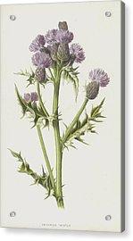 Creeping Thistle Acrylic Print by Frederick Edward Hulme
