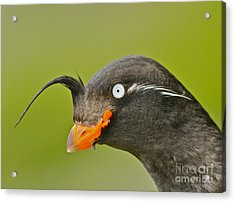 Crested Auklet Acrylic Print by Desmond Dugan/FLPA