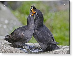 Crested Auklet Pair Acrylic Print by Desmond Dugan/FLPA