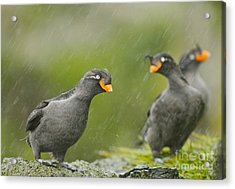 Crested Auklets Acrylic Print by Desmond Dugan/FLPA