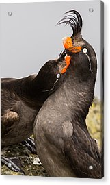 Crested Auklets Acrylic Print by Sunil Gopalan