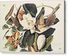 Cuckoo On Magnolia Grandiflora Acrylic Print by John James Audubon