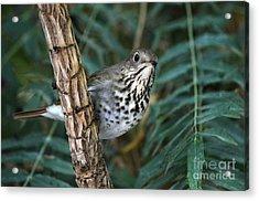 Curious Bird Acrylic Print by Dan Holm